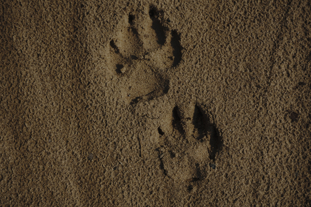 Detail of a paw print in sand.