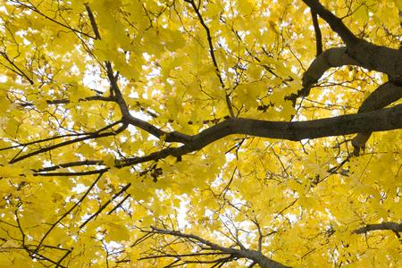 Wide shot of bright yellow  foliage of aspen trees in autumn oak forest, Belgorod region in southern Russia 版權商用圖片