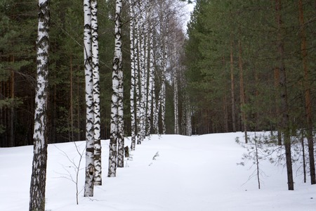 Smooth aerial shot along winter snowy trees above pine forest, cold Russian weather