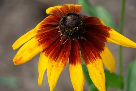 Rudbeckia hirta var pulcherrima stem susan floral 版權商用圖片
