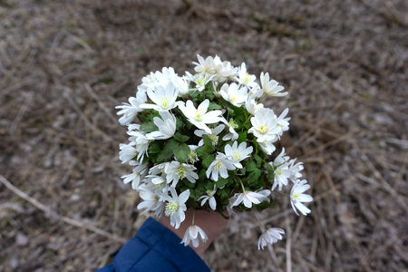 closeup of female hand holding a bouquet of snowdrops in nature