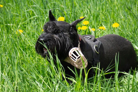 Walking Black Schnauzer Or Riesenschnauzer Dog Outdoor.