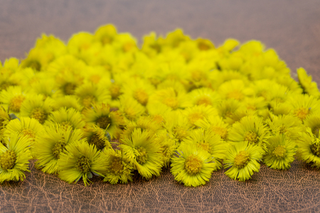 First yellow early spring mother and stepmother flower on empty ground. Tussilago farfara medical plant. Coltsfoot blossoms Imagens