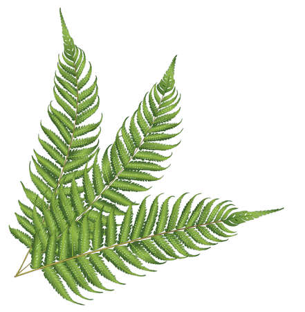 fern leaf: new zealand leaf Illustration