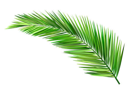 coconut tree: coconut leaves