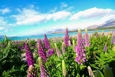 lupine: lupine flower