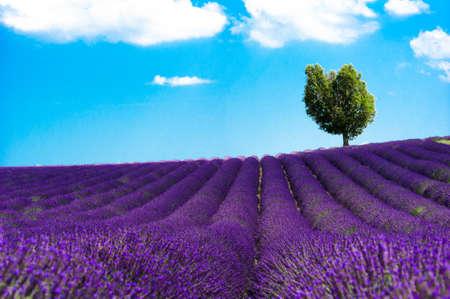 champs: plateau de valensole - fields of lavender Stock Photo