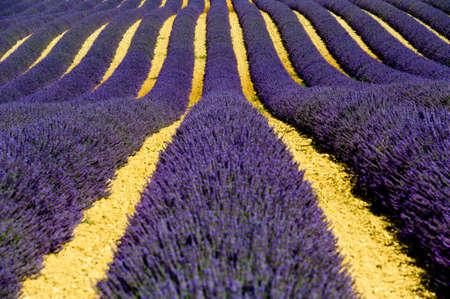 plateau de valensole - fields of lavender Stock Photo - 10541392