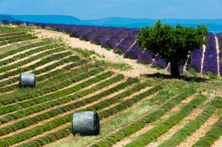 paysage: plateau de valensole - fields of lavender Stock Photo