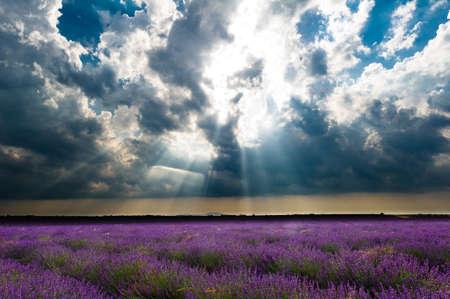 arum flower: valensole - fields of lavender under a stormy sky