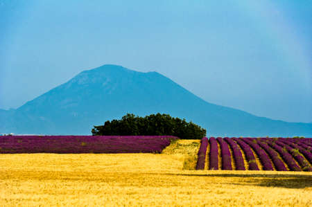 paysage: valensole - fields of lavender and wheat