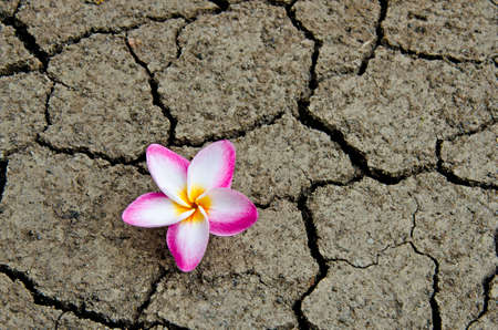 barren: Pattern of cracked and dried soil With a Plumeria pink flower.