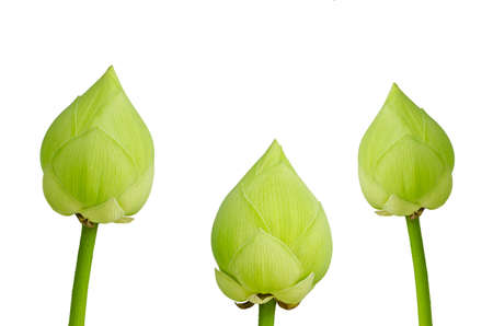 nelumbinis: Three green lotus flower isolated on white background.