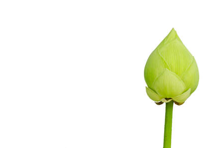 Close up of green lotus flower isolated on white background.