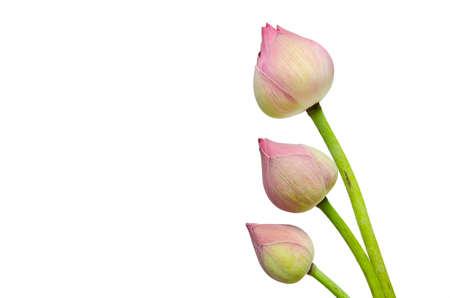 nelumbinis: Pink lotus flower isolated on white background.