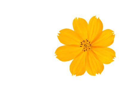 Orange Cosmos flower isolated on white background. Stock Photo - 11109593