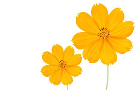 Orange Cosmos flower isolated on white background. Stock Photo - 11109580
