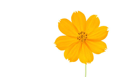 Orange Cosmos flower isolated on white background.