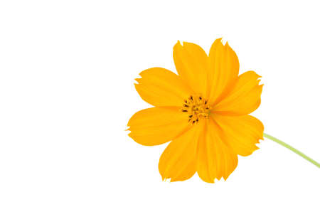 aster flowers: Orange Cosmos flower isolated on white background.