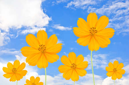 Orange Cosmos flower and blue sky Stock Photo - 11269559