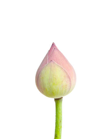 Pink lotus flower isolated on white background. photo