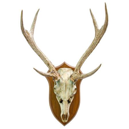 animal skull: Animal skull with horn Stock Photo