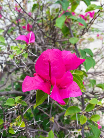 tunable: Pink bougainvillea flowers