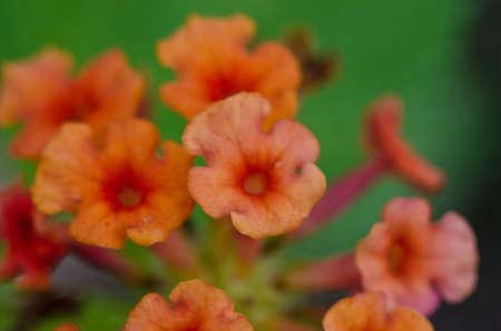 successively: Orange Flower
