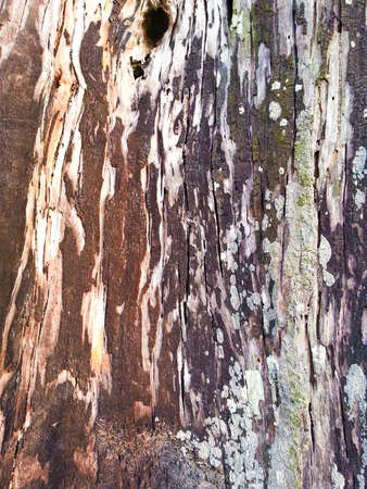 face in tree bark: Wood background Texture