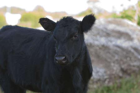 Black Cow by a rock