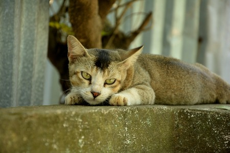 A awakening cat (Felis catus, or Felis silvestris catus, literally
