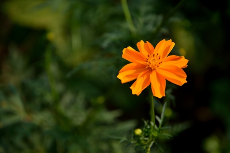 A  beautiful yellow Tagetes Erecta or popularly known as Marigold flowers with leaves.