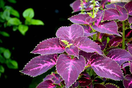 Close up of Coleus ( Plectranthus scutellarioides ) plant leaves growing in mawlynnong village of Shillong, Meghalaya, India