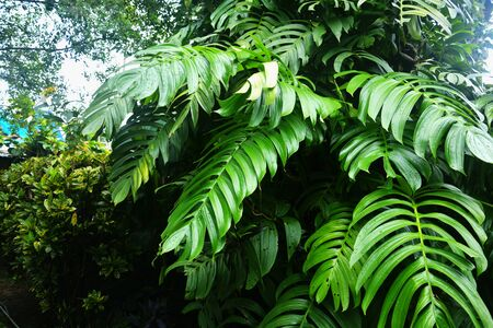 Large green leaves of monstera plants growing heart shaped or split-leaf philodendron (Monstera deliciosa) the tropical foliage plant in mawlynnong, Shillong