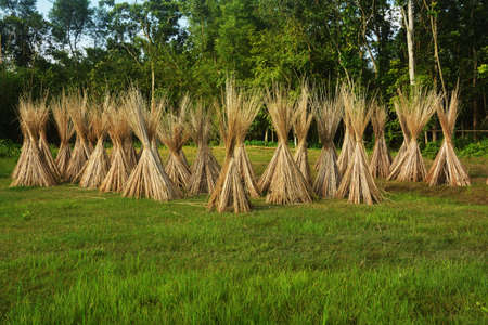 Close up of long sticks of Jute plants drying in sunlight, selective focusing