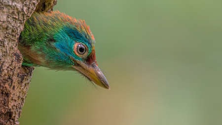 The Asian barbets is a family of bird species, the Megalaimidae, comprising two genera with thirty species native to the forests of the Indomalayan realm from Tibet to Indonesia Stock Photo