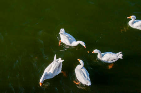 ducks are swimming on the nakki lake of mount abu