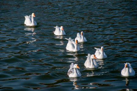 ducks are swimming on the nakki lake of mount abu