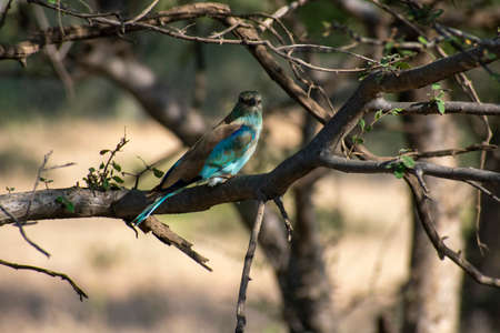 indian roller hiding in a bush at ranthambore national park