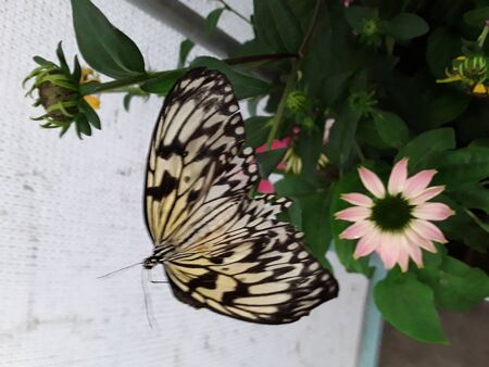 A butterfly perched on a pink daisy