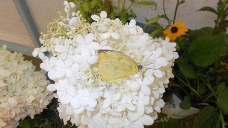 A yellow butterfly nestled in white flower