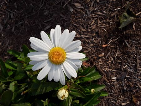 A daisy blooming in the sun 写真素材