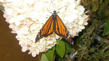 A monarch butterfly perched on a white flower Reklamní fotografie
