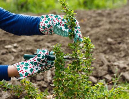 gooseberry bush: Giardinaggio stagionale - potatura cespuglio di uva spina.