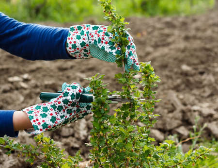 gooseberry bush: Seasonal gardening - pruning the gooseberry bush.