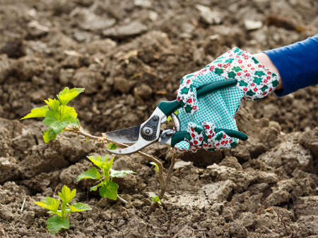Working with the pruning shears in the garden. Stock Photo - 27334221