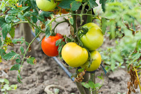 verdant: Raw and ripe tomatoes on their branch.