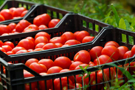 Fresh healthy tomatoes being stocked in plastic boxes.