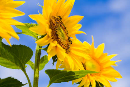 farina: Apoidea collects pollen on helianthus annuus for honey. Stock Photo