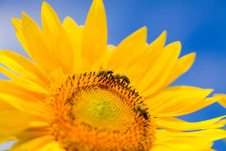 pollinate: Honeybee pollinate on sunflower for honey-comb.